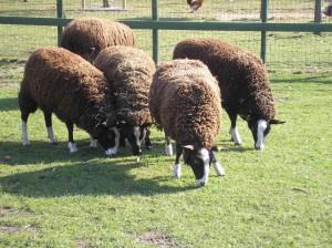 Hoeveel magen heeft een schaap
